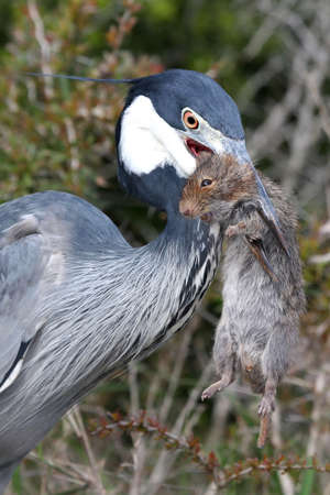 Heron bird about to swallow a rat in it's beak that it has just caught Stock Photo - 5933991