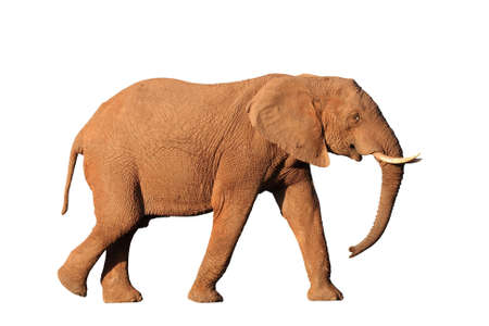 big game: Isolated African elephant male with tusks and trunk hanging down Stock Photo