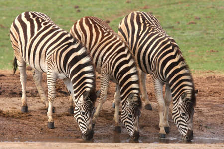 thirst quenching: Three zebras quenching their thirst at an African water hole Stock Photo