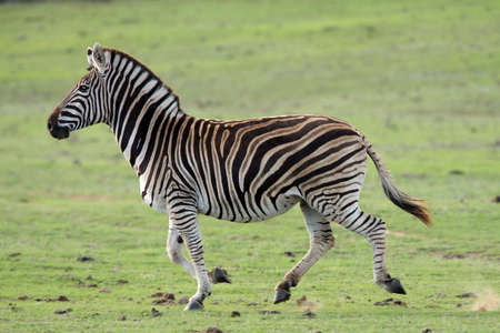 Large male Burchells zebra running across the African grass land