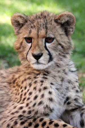 Portrait of a cute baby cheetah with large brown eyes