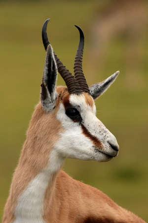 springbuck: Portrait of an alert springbok antelope from South Africa Stock Photo