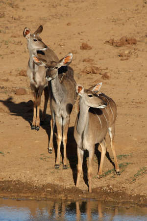 timid: Three timid kudu antelope waiting to drink at a waterhole