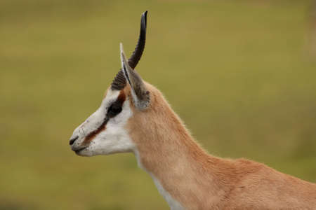 antidorcas: Portrait of an alert springbok antelope from South Africa Stock Photo