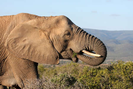 African elephant eating green leaves from a spekboom tree Stock Photo