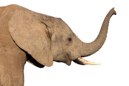tusk: African elephant smelling the air with its raised trunk