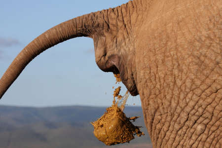 orifice: African elephant deficating with tail held up