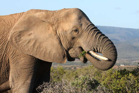 African elephant eating green leaves from a spekboom tree Stock Photo - 6149123