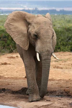 big five: African elephant standing at a waterhole in Addo National Park