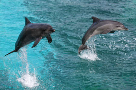 Two bottlenose dolphins jumping out of the water together photo