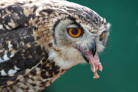 Spotted Eagle Owl eating from a dead chicken photo