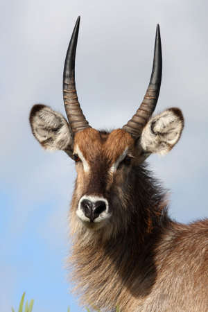 Portrait of a male waterbuck antelope from Africa photo