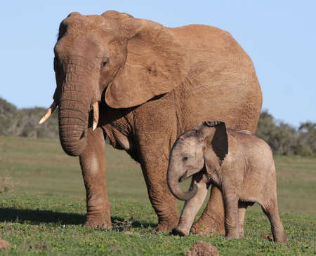 African Elephant Baby and Mother walking on green grass Stock Photo