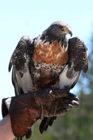 handlers: Large Jackal Buzzard bird perched on its handlers glove
