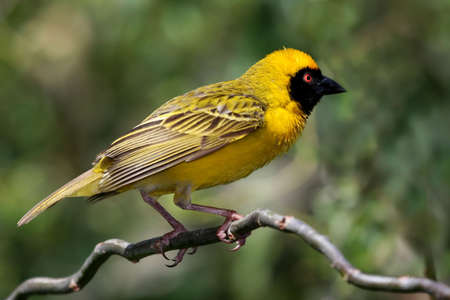 Pretty yellow Masked Weaver bird with an orange eye Stock Photo - 6392849
