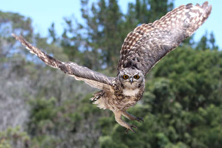 raptor: Spotted Eagle Owl raptor coming in to land Stock Photo