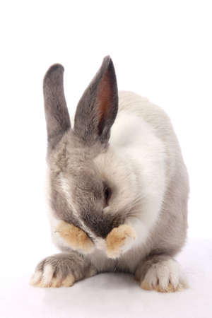 Cute bunny rabbit clening its face with it paws