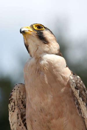 lanner: Lanner Falcon raptor bird with intent look