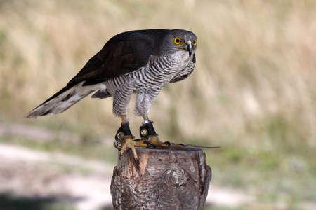 melierax: African Goshawk bir of prey standing on a tree stump