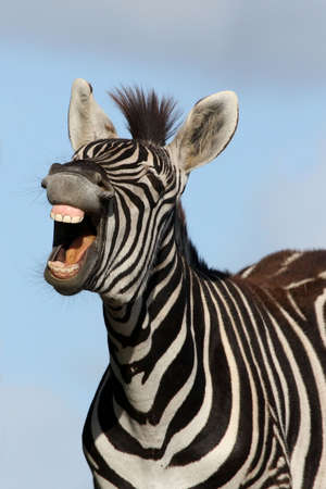 cebra: Cebra con boca abre mirando como est� riendo Foto de archivo