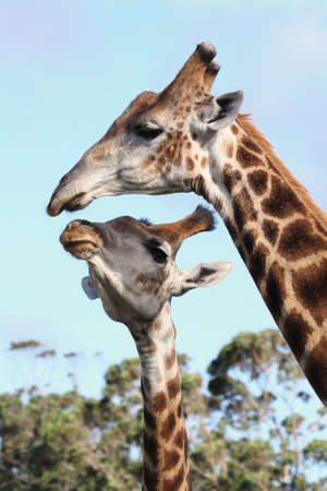 africa kiss: Two giraffes from Africa showing some affection