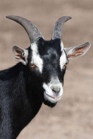 cuernos: Cabra de blanco y negro con cuernos y perilla