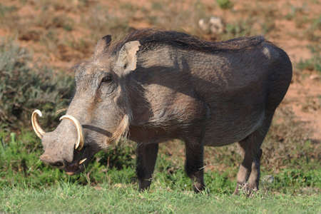 herbivore natural: Hairy warthog with large cuved tusks eating grass Stock Photo