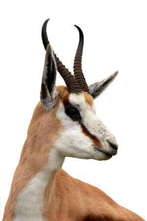 southern africa: Portrait of an alert springbok antelope from South Africa - isolated