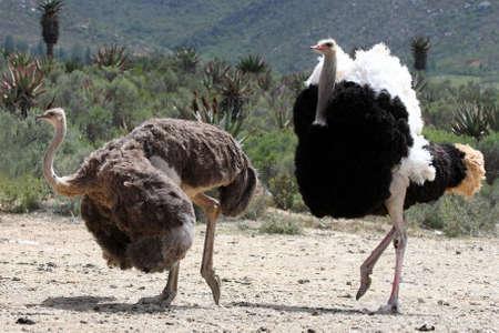 avestruz: Apuesto avestruz machos con plumas hermosas mostrando a su compa�ero  Foto de archivo