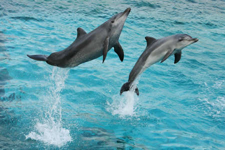 Bottlenose dolphins jumping out of the clear blue water