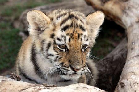 Lindo bebé tigre de Siberia escondido detrás de un registro de árbol