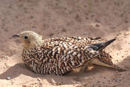 grouse: Sand grouse wild fowl making a sand bathe