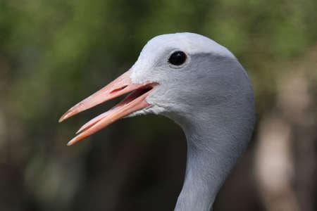 Blue crane bird with long pointed beak open Stock Photo - 6826720