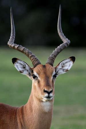 impala: Beautiful male impala antelope with large horns Stock Photo