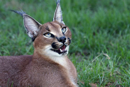 Handsome caracal wild cat or African lynx Stock Photo
