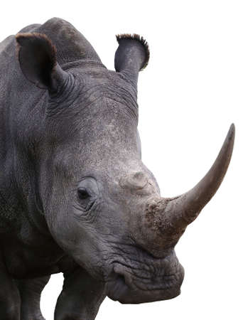 White rhino with large horn isolated on white backround Stock Photo
