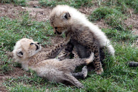 Two very young cheetah cubs play fighting photo