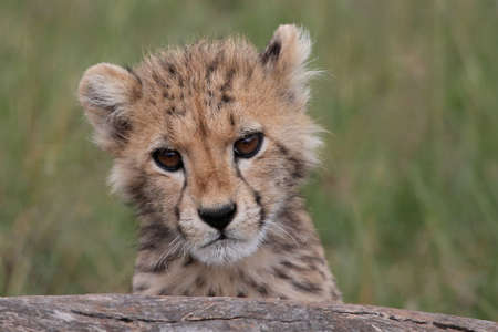 Cute cheetah cub peering inquisitively over a log photo