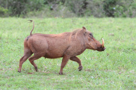 Running scared warthog with typical erect tail photo