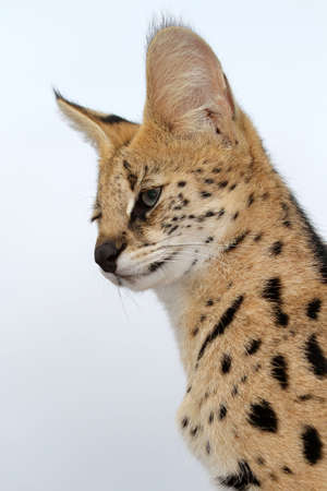 spotted fur: Beautiful Serval wildcat with spotted fur and long ears Stock Photo