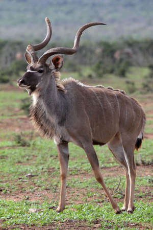 Magnificent male Kudu antelope with large horns photo