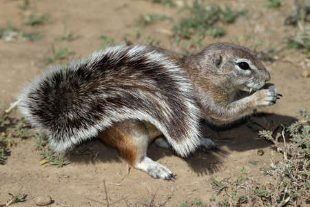 Cute ground squirrel with huge bushy tail photo