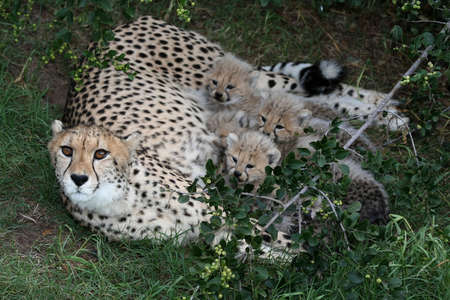 Beautiful cheetah mother and four cubs after a feed photo