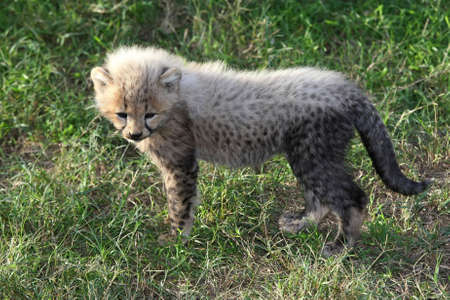 Small baby cheetah with charateristic white fur on its back photo