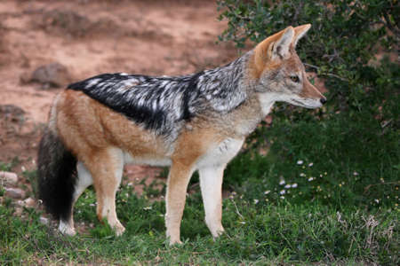 elusive: Black backed jackal with beautiful fur and bushy tail Stock Photo