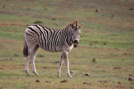 curled lip: Young Burchells or plains zebra with curled up lip