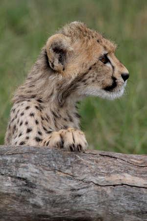 cheetah cub: Cute cheetah cub peering inquisitively over a log Stock Photo