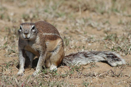 Ground squrrel sunning its self in the afternoon sun photo