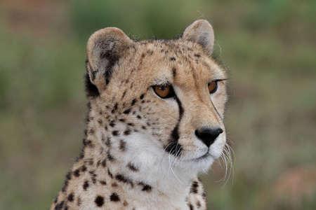 Portrait of a handsome cheetah wild cat photo