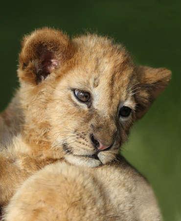 lion cub: Small cute lion cub looking back with big eyes